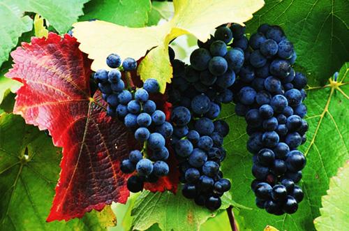 img gf viticulture